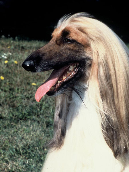 9 Long Eared Breeds American Kennel Club