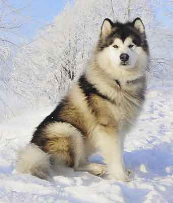 The Alaskan Malamute Is Oldest And Largest Of Arctic Sled Dogs Having Been Used For Freighting In They Have A Thick Co Coat That