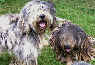 Meet Akcs Four Newly Recognized Breeds American Kennel Club