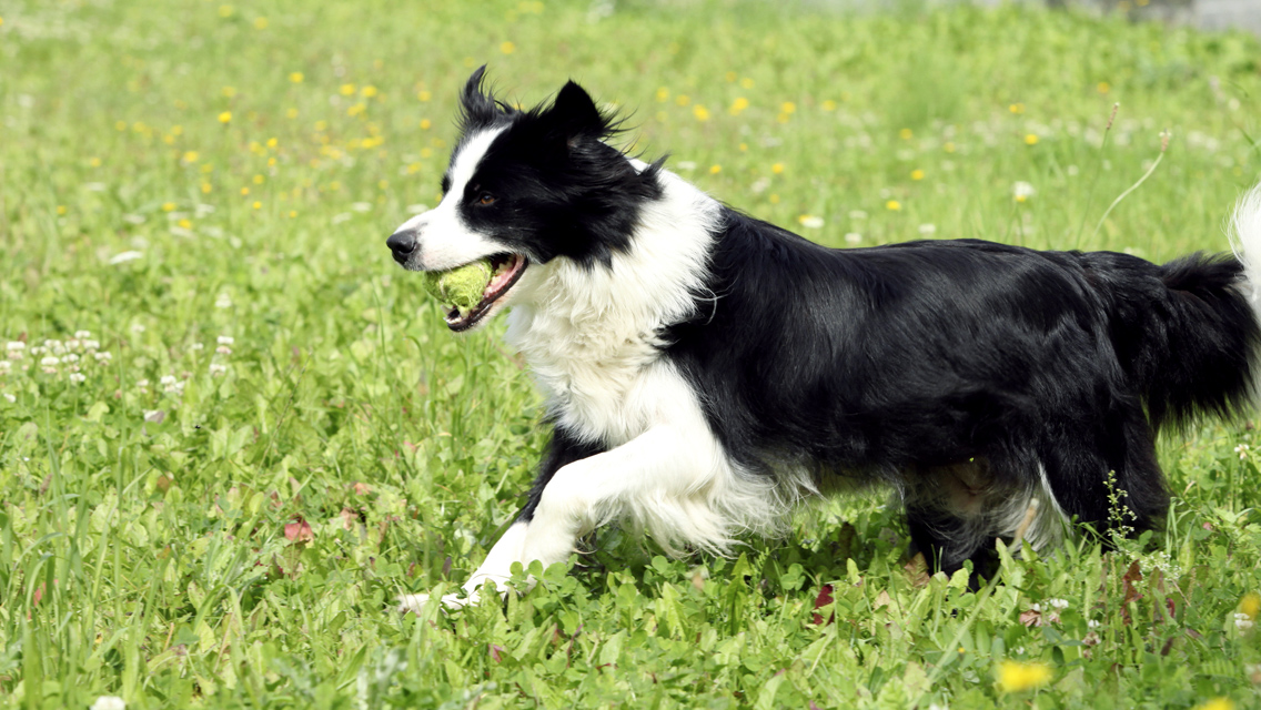 border collie running with ball
