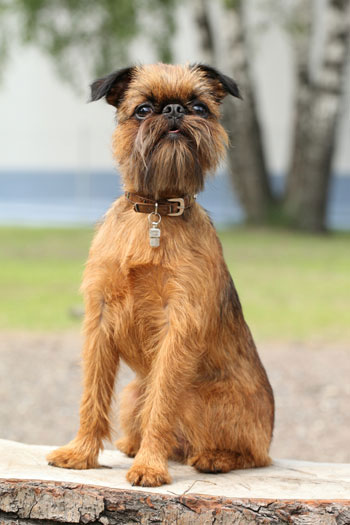 6 Dog Breeds With Beards American