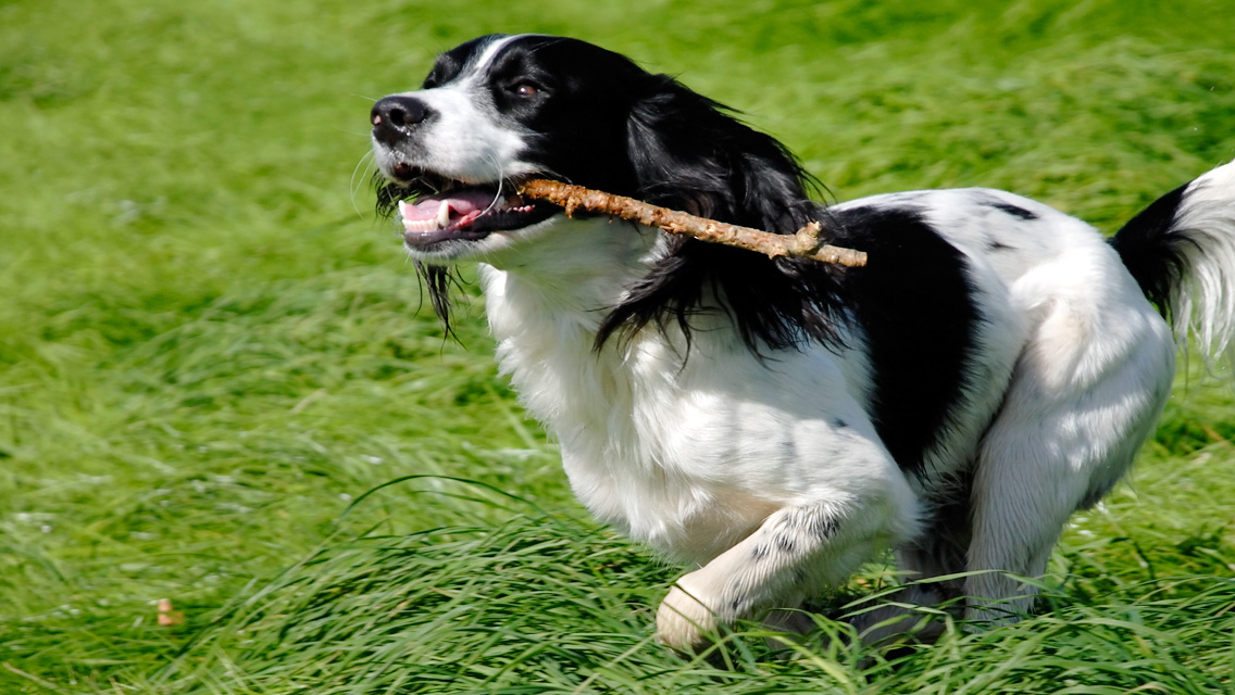 english springer spaniel with stick