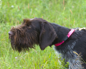 6 Dog Breeds With Beards American Kennel Club