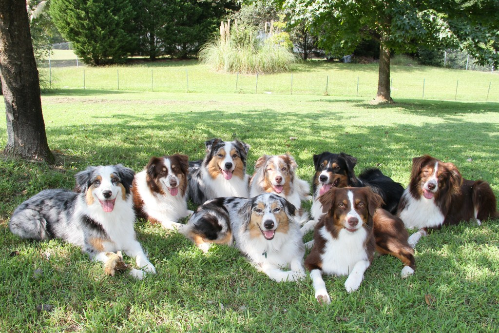10 Things Only An Australian Shepherd Owner Would