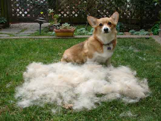 Shedding Corgi