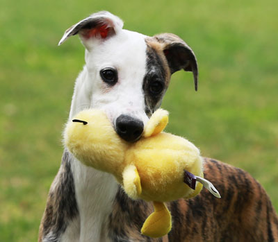 whippet with toy