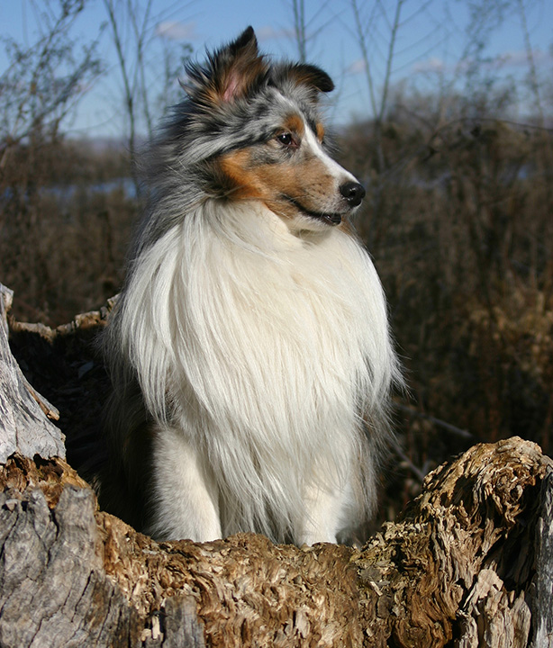 Sheltie in field