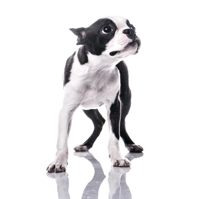 You Can Laugh All Want But Only Boston Terrier Owners Truly Feel The Pain Smells That Come Out These Little Guys Behinds Is Unreal