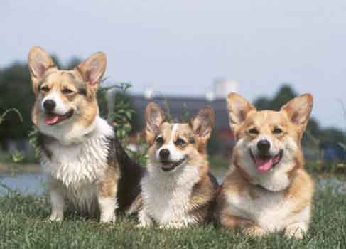 Sure They Might Make Good Barn Dogs But Pembroke Welsh Corgis Are Not Terriers Your Corgi Won T Sniff Out Bedbugs Kill Roaches Or Catch Mice